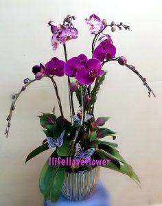 蝴蝶蘭及盆栽